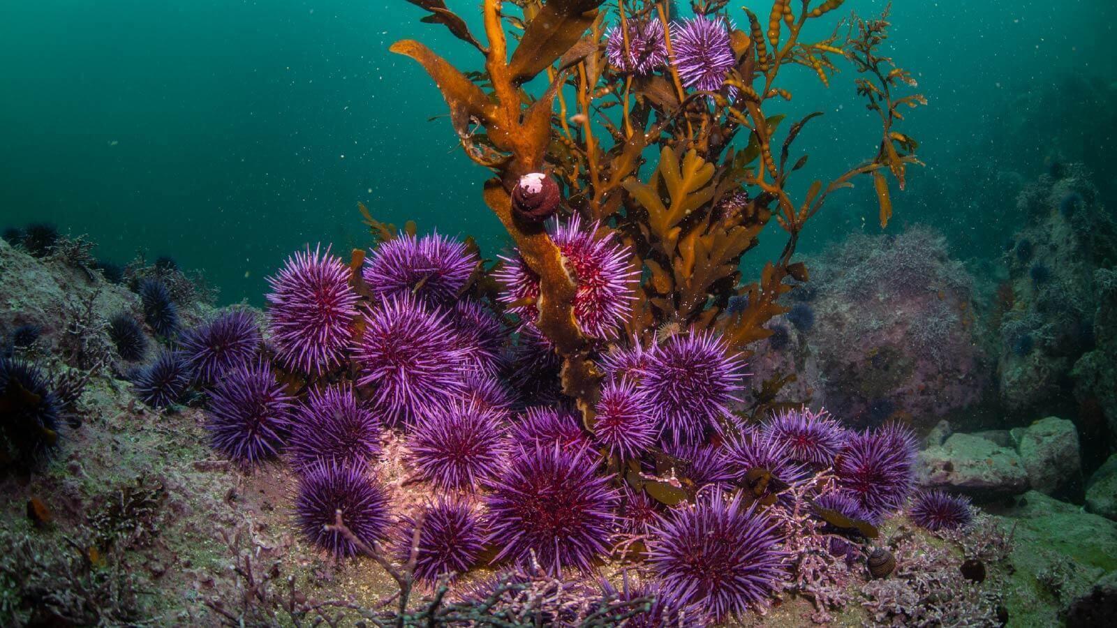 Saving California's kelp forests